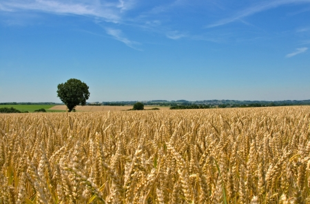 plough land: wheat field, tree and blue sky