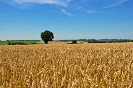 wheat field and tree photo