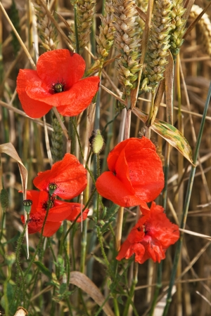 red poppy in field photo