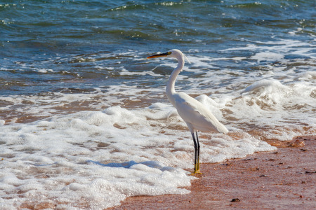 dahab: Dahab, Sinai Peninsula, Egypt, Heron on the shore of the sea
