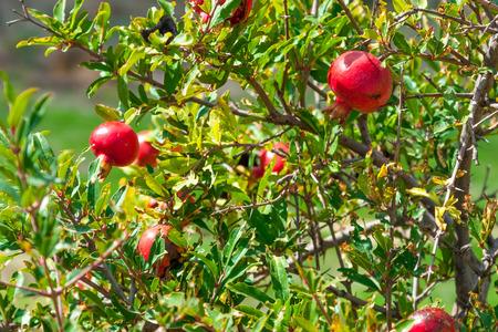 garnets: Garnet or pomegranate tree with ripe fruits