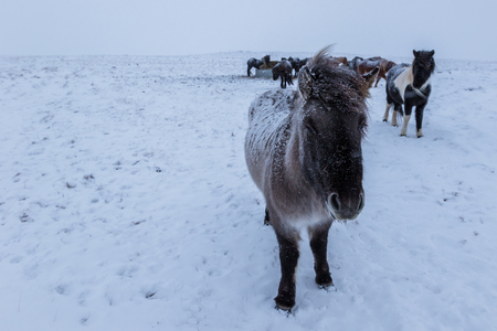 Cute icelandic horses in snowy weather and on snow covered field in Iceland Stock Photo