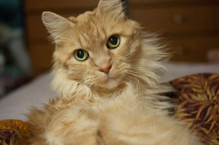coon: Adult Male Maine Coon Cat Stock Photo
