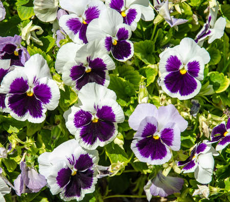 pansies: Garden of Blooming Pansies