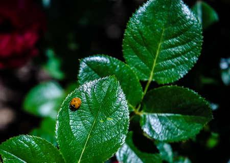coccinellidae: Ladybug Sunbathing on a Leaf