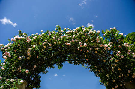 Climbing Roses on Trellis with a Blue Sky Background photo