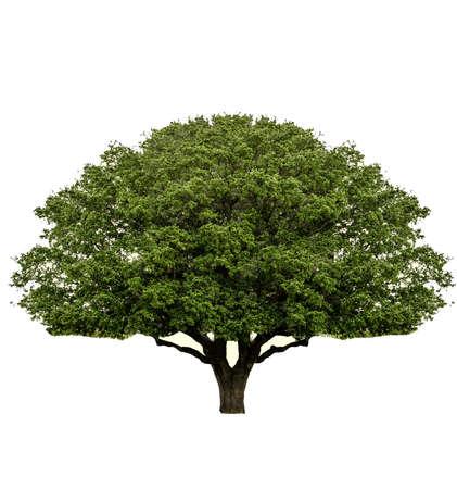 ek: Isolerade träd på vit bakgrund Stockfoto