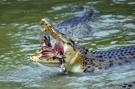close up of saltwater crocodile while devours a prey photo