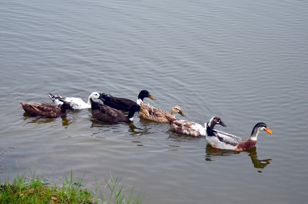 A covey of wild duck is in the lake photo