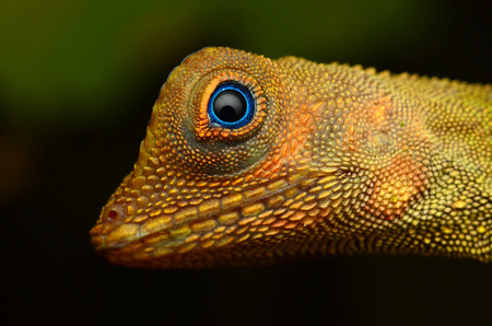vivarium: Wild lizard at tropical forest in Pahang, Malaysia