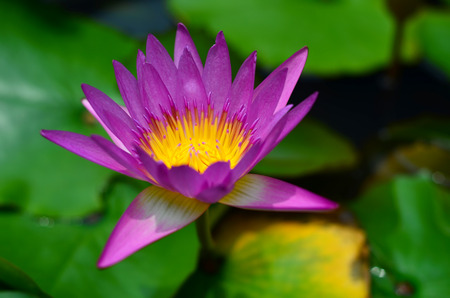 nymphaea odorata: Water lily blossom