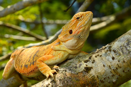 bearded dragon: Hypo Leatherback Bearded Dragon perched on a branch