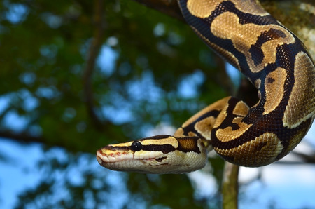 ball python: Fire Ball Python Snake wrapped around a branch