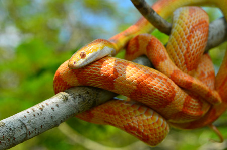 Amel Motley Corn Snake wrapped around a branch