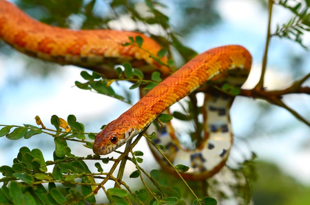 sliding scale: Sunkissed Corn Snake wrapped around a branch Stock Photo