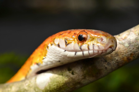 regius: Sunkissed Corn Snake close up eye and detail scales Stock Photo