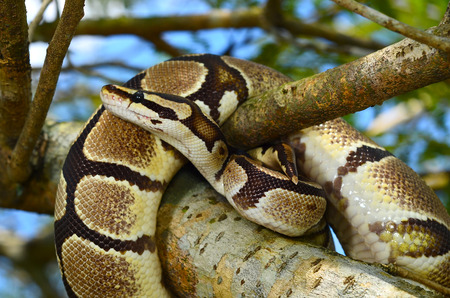 sliding scale: Fire Ball Python Snake wrapped around a branch