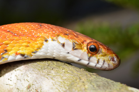 sliding scale: Sunkissed Corn Snake close up eye and detail scales Stock Photo