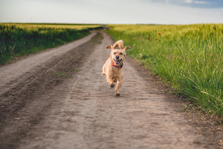 Small yellow dog running down rural dirt road
