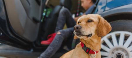 paciencia: Pequeño perro amarillo sentado en el coche Foto de archivo
