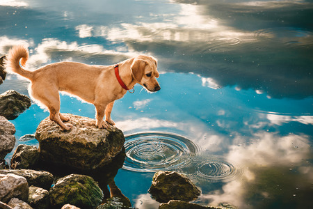 Small yellow dog standing on the rock by the water