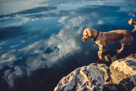 Small yellow dog standing on the rock by the water 免版税图像 - 84897499