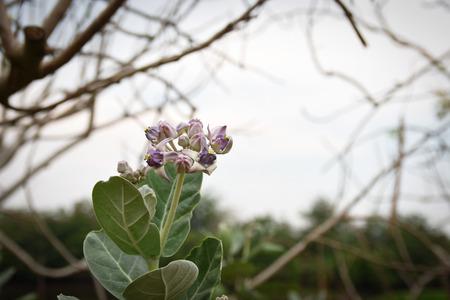 gigantea: Calotropis gigantea, purple flowers