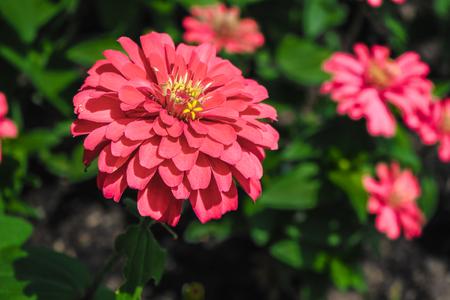 The blossoming gerbera jamesonii flowers closeup in garden