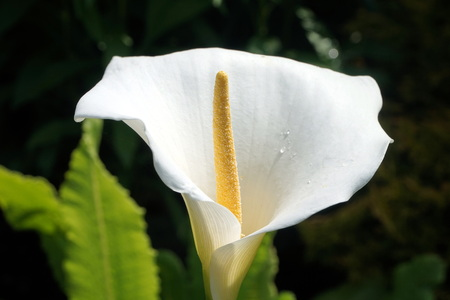 white lily: White lily close up
