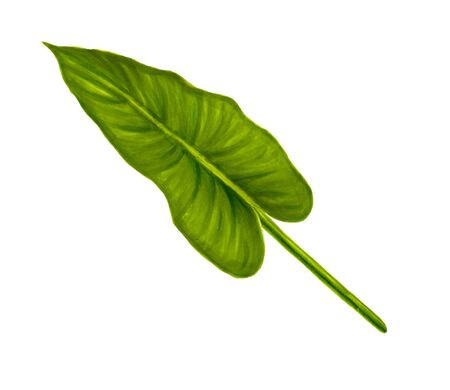 Hand drawn soft green jungle leaf of anthurium on a white background.