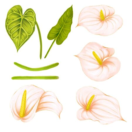 Set of hand drawing soft pink-beige anthurium on white background. Decorative exotic element for invitations cards, textile, print and design.
