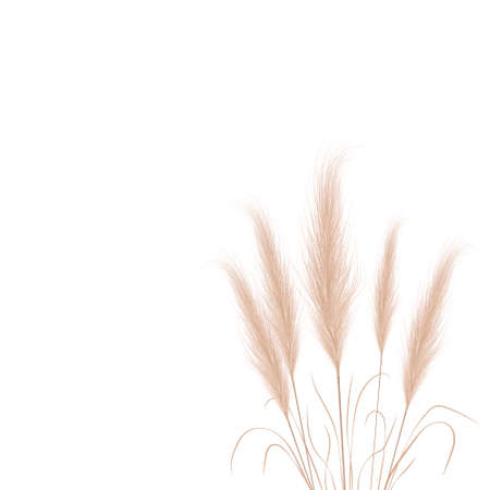 Tan pampas grass branches on white background. Floral ornament elements in boho style. Vector illustration of cortaderia selloana. New trendy home decor