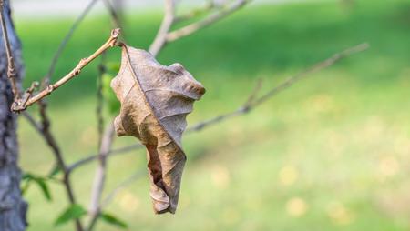 dry leaf: Dry leaf on tree branch