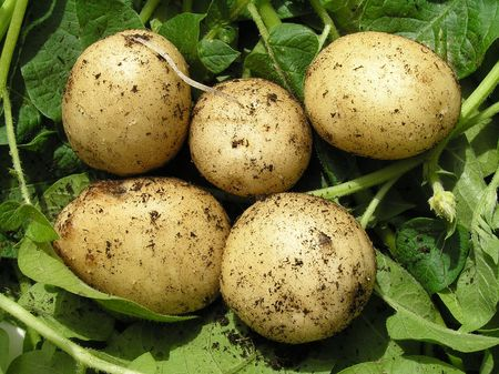 Five new potatoes, green background photo