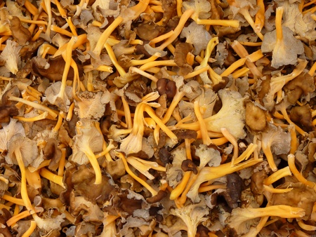 cantharellus: Background - Cantharellus lutescens
