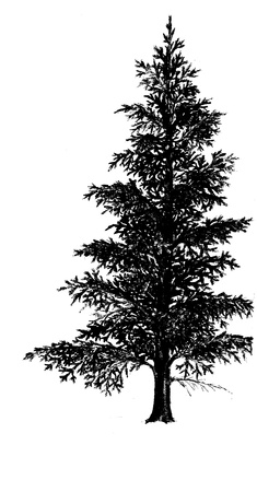 Norway spruce - pencil drawing photo