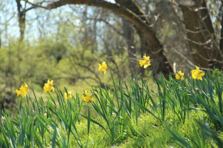 Spring hill with yellow daffodils photo