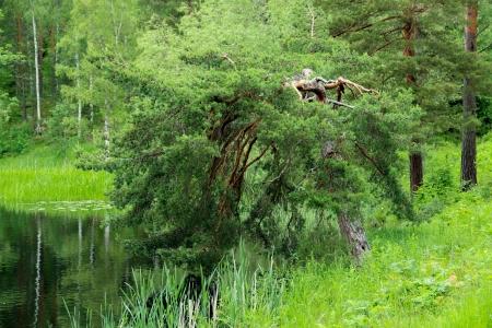 struck: Pine tree that has been struck by lightning
