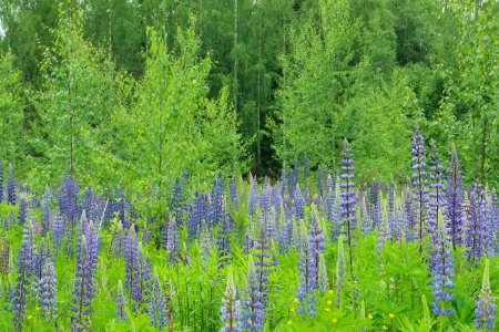 lupins: Meadow with blue lupins with birch trees in the background Stock Photo