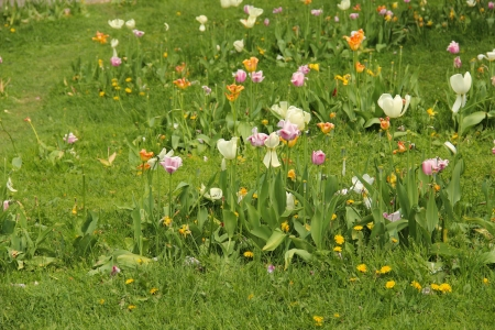 ceased: Faded tulips on a green lawn Stock Photo