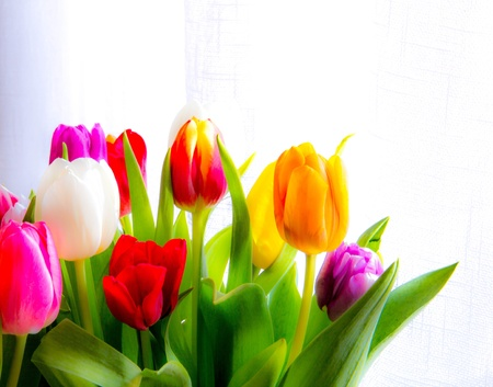 diffuse: Diffuse colourful tulips in sunlight, white background