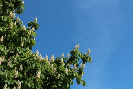 Chestnut flowers in spring against blue sky photo