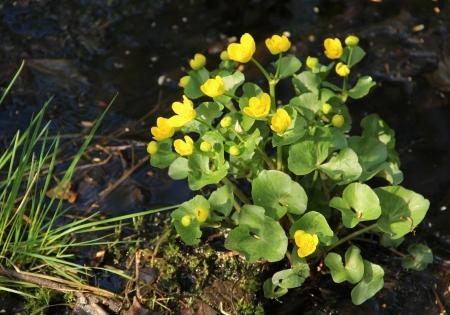 palustris: Caltha palustris, marsh marigold flowers in spring Stock Photo