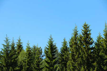 picea: Top of forest and blue sky