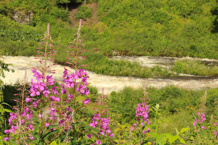 fireweed: Fireweed flowers by the riverside