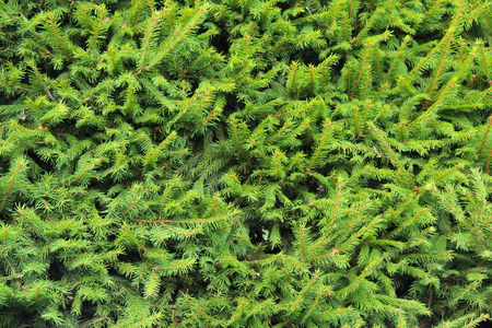 picea: Closeup Norway spruce in summer Stock Photo