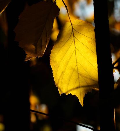hazel tree: Macro image of hazel tree leaf in the autumn Stock Photo