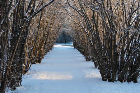 hazel tree: Hazel tree avenue a sunny winter day Stock Photo