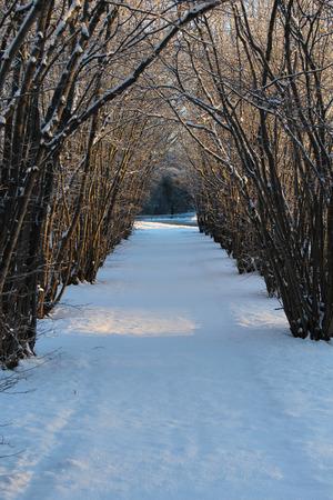 albero nocciola: Hazel albero viale una giornata invernale