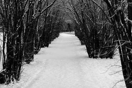 hazel tree: Hazel tree avenue on a winter day in black and white Stock Photo